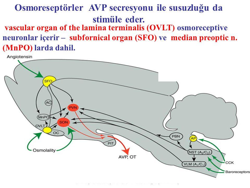Osmoreseptörler AVP secresyonu ile susuzluğu da stimüle eder.