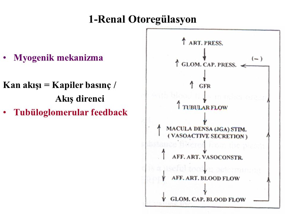 1-Renal Otoregülasyon Myogenik mekanizma Kan akışı = Kapiler basınç /