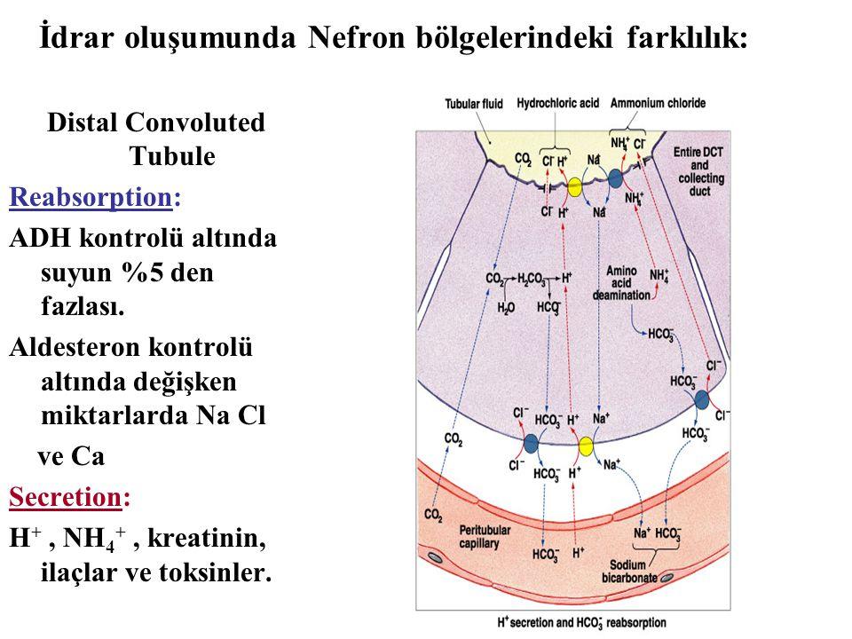 İdrar oluşumunda Nefron bölgelerindeki farklılık: