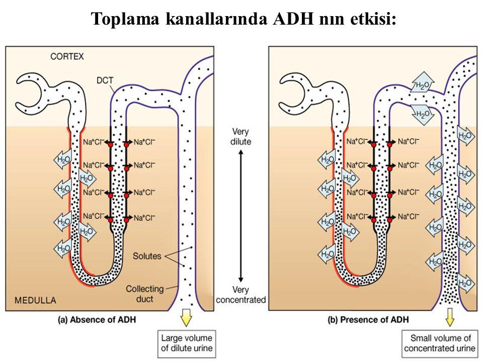 Toplama kanallarında ADH nın etkisi: