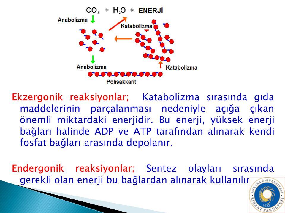 Ekzergonik reaksiyonlar; Katabolizma sırasında gıda maddelerinin parçalanması nedeniyle açığa çıkan önemli miktardaki enerjidir. Bu enerji, yüksek enerji bağları halinde ADP ve ATP tarafından alınarak kendi fosfat bağları arasında depolanır.