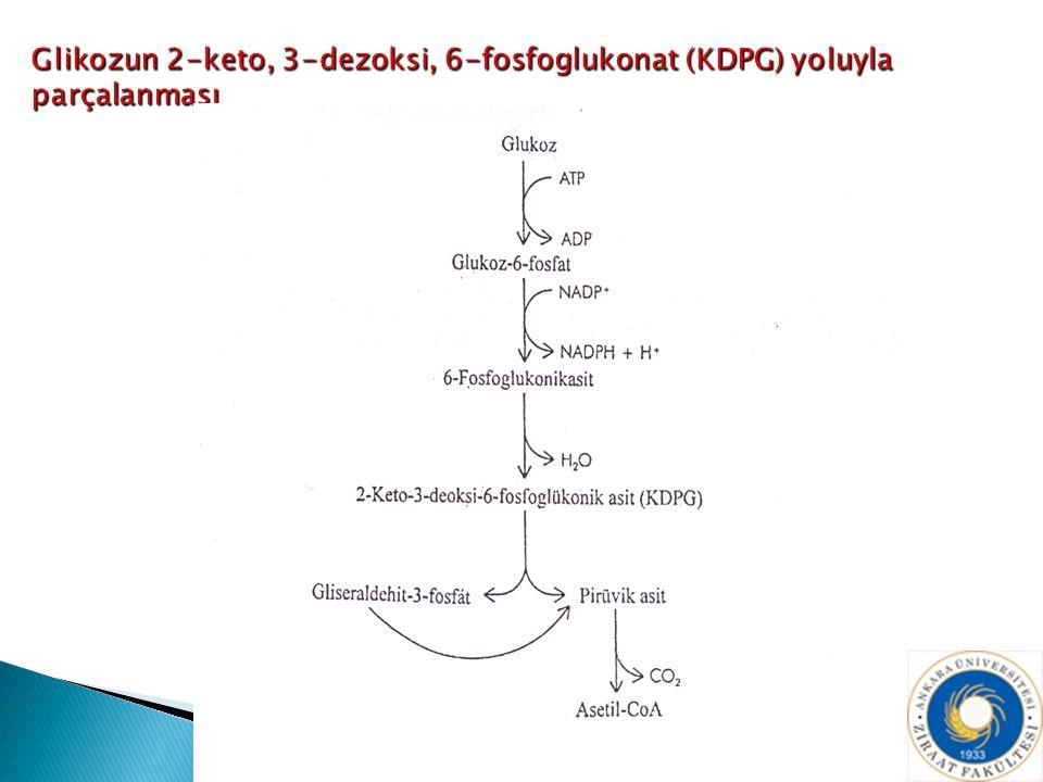 Glikozun 2-keto, 3-dezoksi, 6-fosfoglukonat (KDPG) yoluyla parçalanması