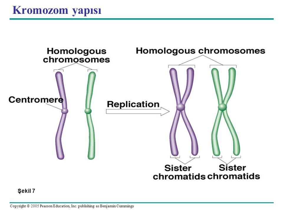 Kromozom yapısı Şekil 7