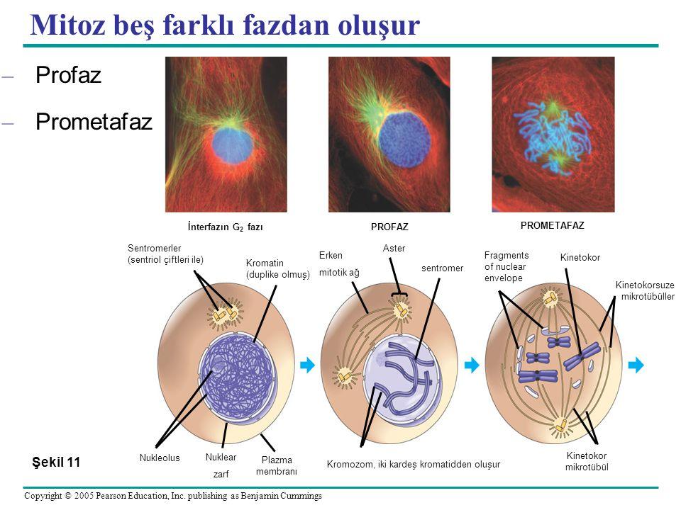 Mitoz beş farklı fazdan oluşur