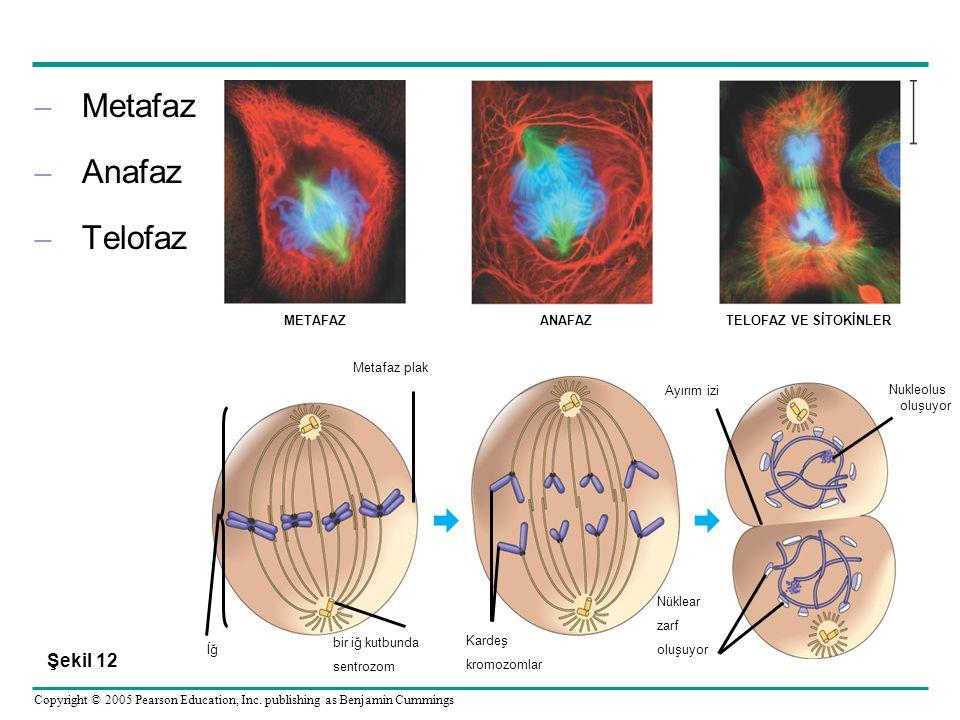 Metafaz Anafaz Telofaz Şekil 12 bir iğ kutbunda sentrozom Kardeş