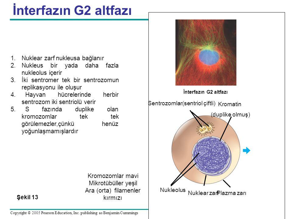 İnterfazın G2 altfazı Nuklear zarf nukleusa bağlanır