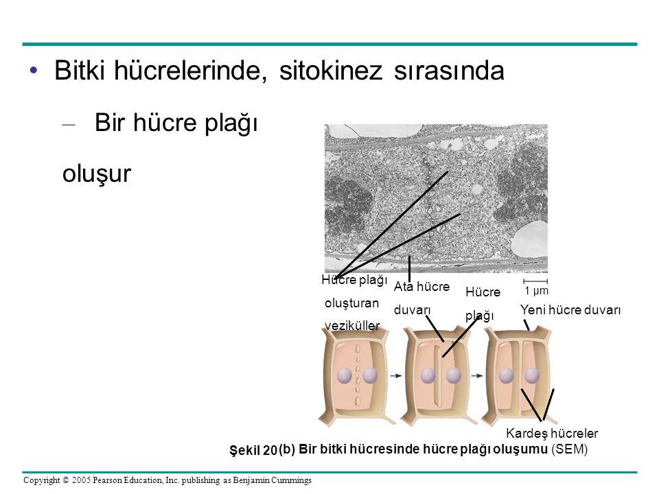 (b) Bir bitki hücresinde hücre plağı oluşumu (SEM)