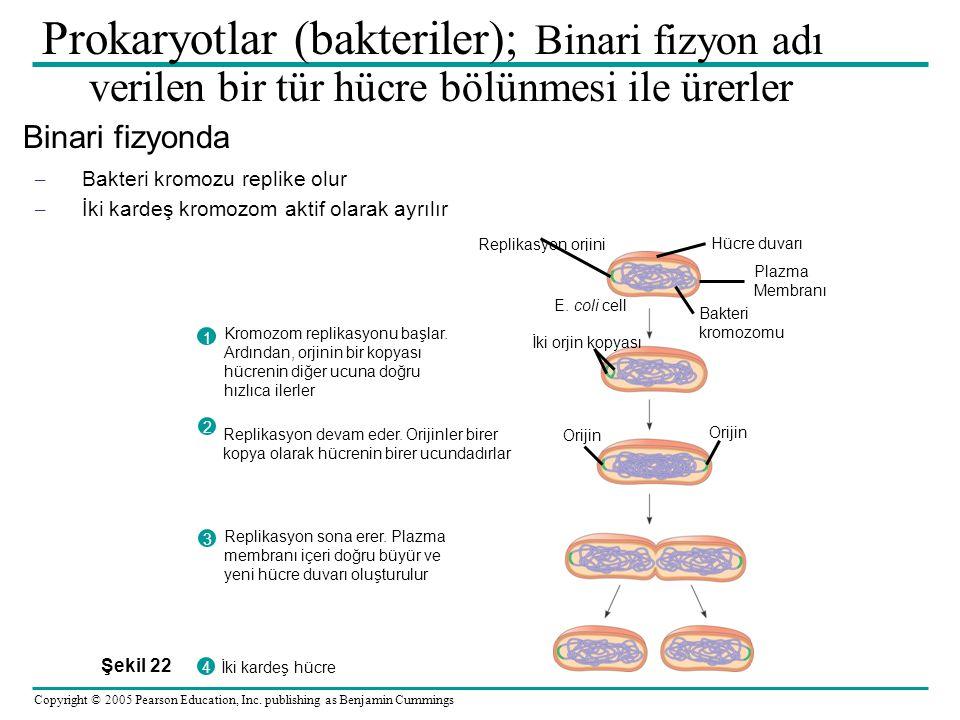 Prokaryotlar (bakteriler); Binari fizyon adı verilen bir tür hücre bölünmesi ile ürerler