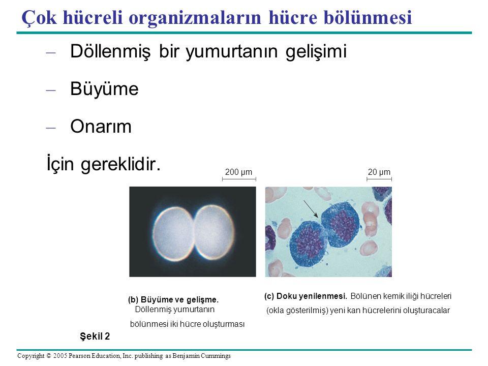 Çok hücreli organizmaların hücre bölünmesi