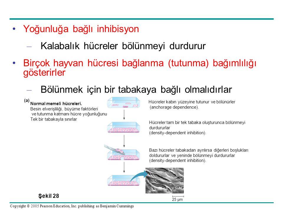 Yoğunluğa bağlı inhibisyon Kalabalık hücreler bölünmeyi durdurur