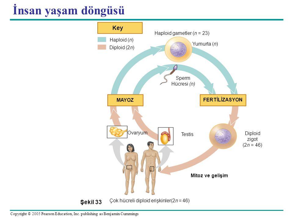 Çok hücreli diploid erişkinler(2n = 46)