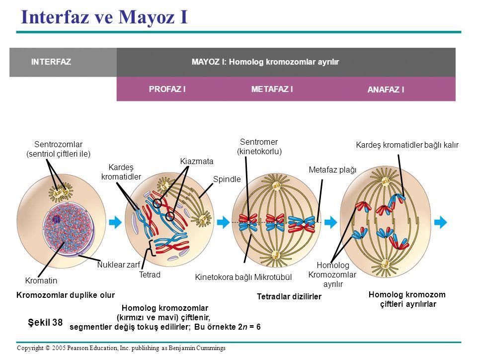 Interfaz ve Mayoz I Şekil 38 Sentrozomlar (sentriol çiftleri ile)