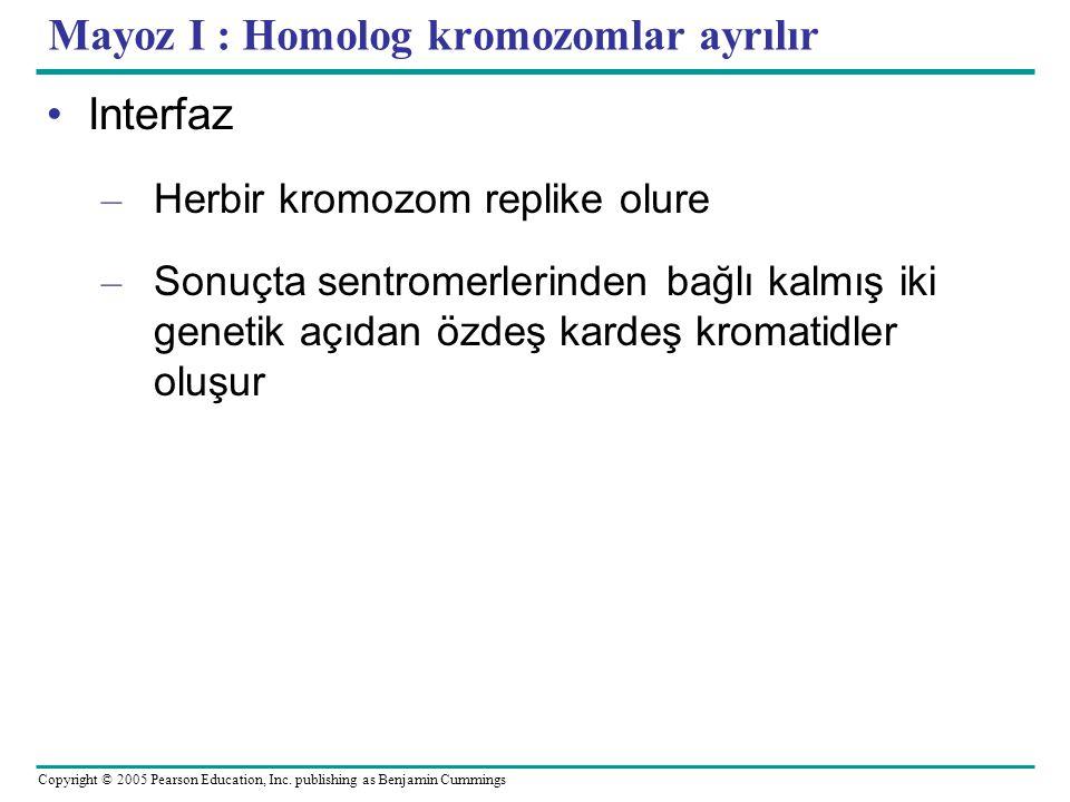 Mayoz I : Homolog kromozomlar ayrılır
