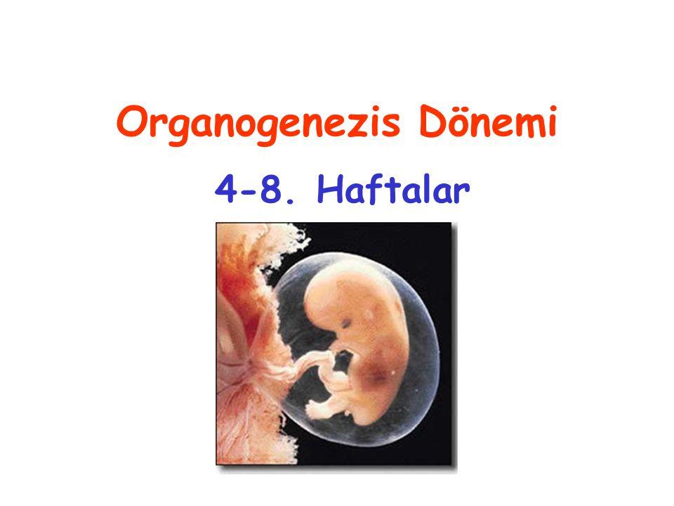 Organogenezis Dönemi 4-8. Haftalar