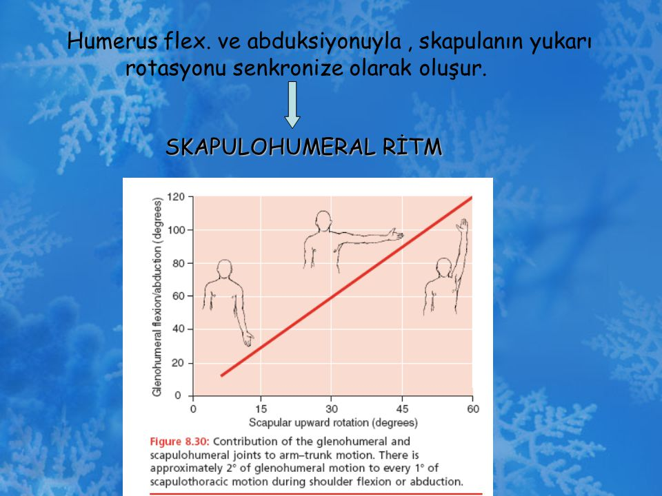 Humerus flex. ve abduksiyonuyla , skapulanın yukarı