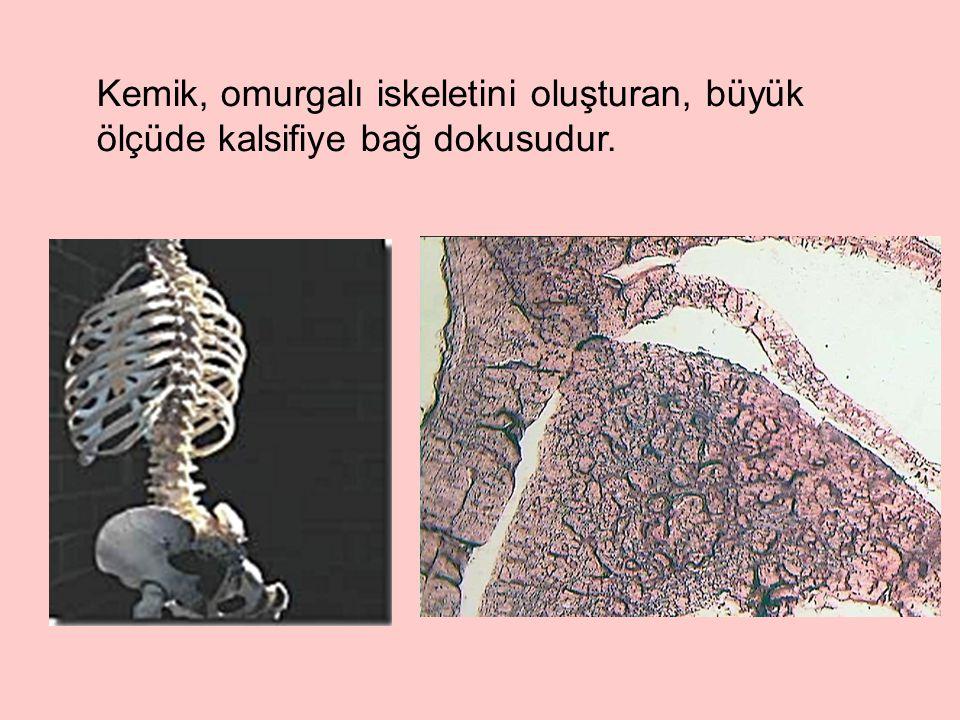 Kemik, omurgalı iskeletini oluşturan, büyük ölçüde kalsifiye bağ dokusudur.