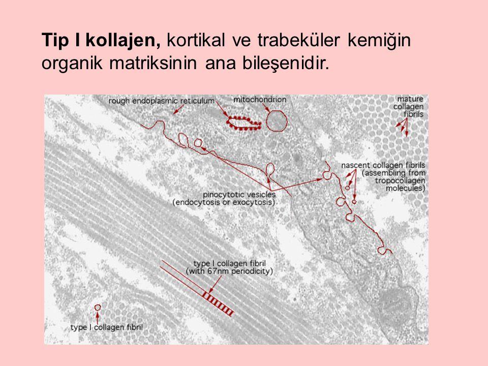 Tip I kollajen, kortikal ve trabeküler kemiğin organik matriksinin ana bileşenidir.