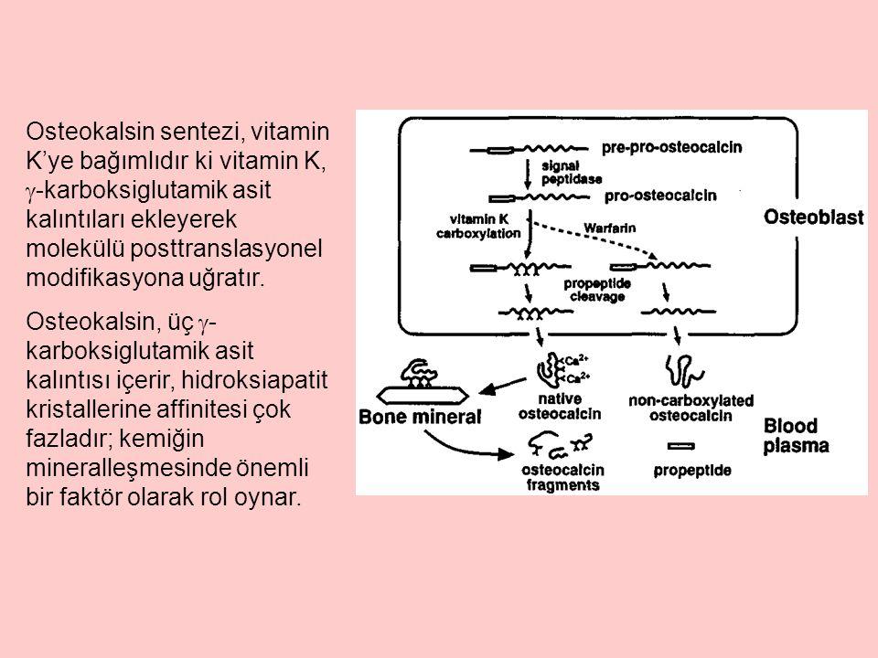 Osteokalsin sentezi, vitamin K'ye bağımlıdır ki vitamin K, -karboksiglutamik asit kalıntıları ekleyerek molekülü posttranslasyonel modifikasyona uğratır.