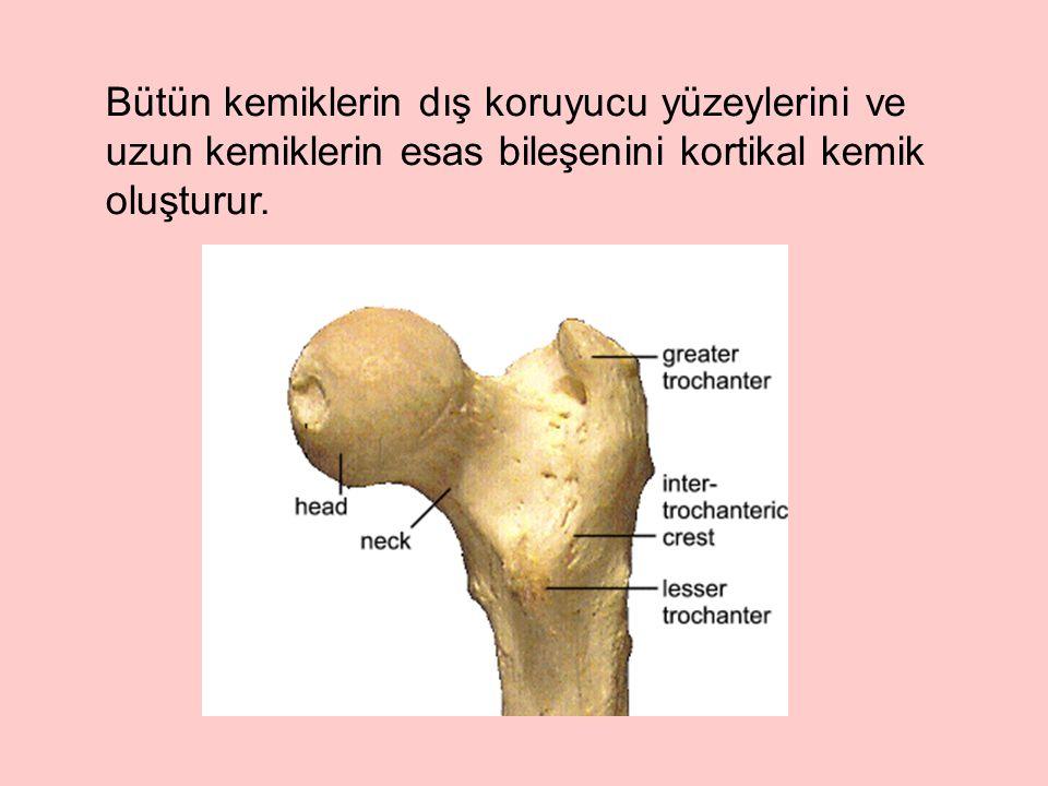 Bütün kemiklerin dış koruyucu yüzeylerini ve uzun kemiklerin esas bileşenini kortikal kemik oluşturur.