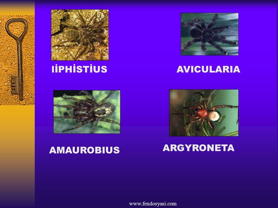 lİPHİSTİUS AVICULARIA ARGYRONETA AMAUROBIUS www.fendosyasi.com