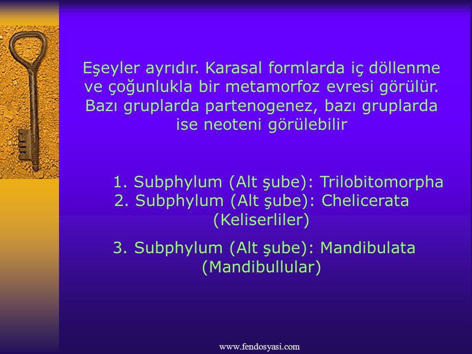 3. Subphylum (Alt şube): Mandibulata (Mandibullular)