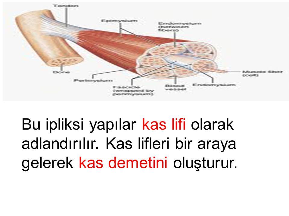 Bu ipliksi yapılar kas lifi olarak adlandırılır