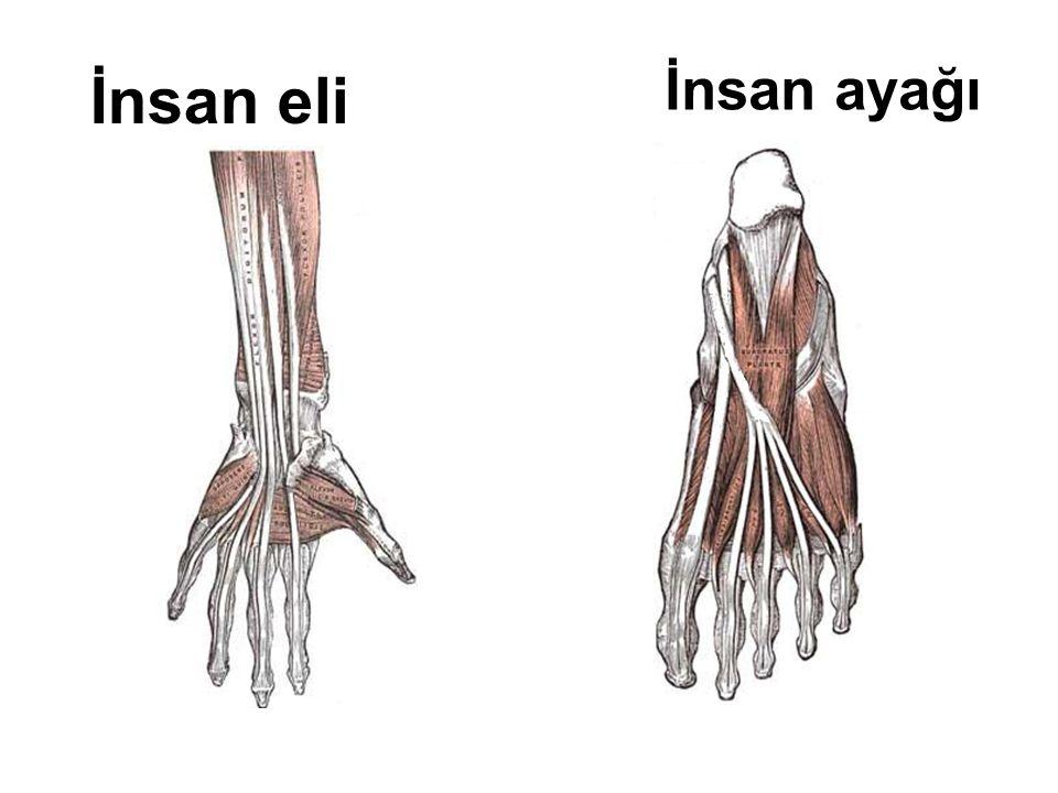 İnsan ayağı İnsan eli