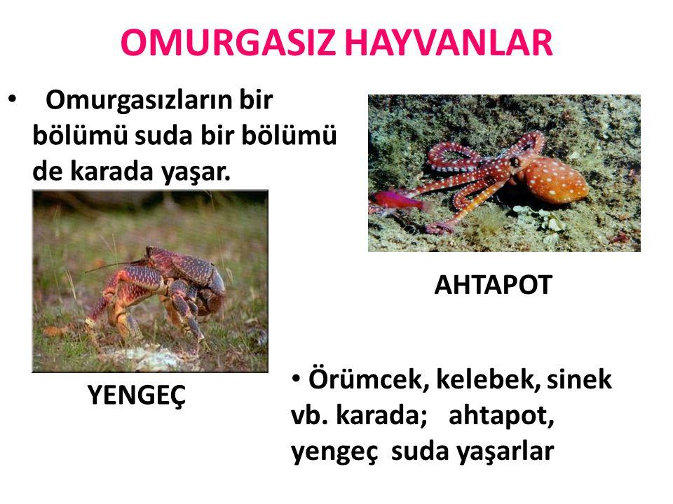 OMURGASIZ HAYVANLAR Omurgasızların bir bölümü suda bir bölümü de karada yaşar. AHTAPOT.