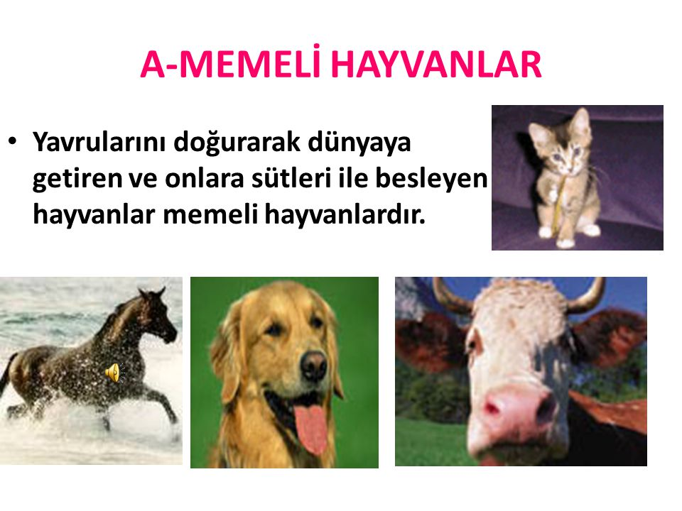 A-MEMELİ HAYVANLAR Yavrularını doğurarak dünyaya getiren ve onlara sütleri ile besleyen hayvanlar memeli hayvanlardır.