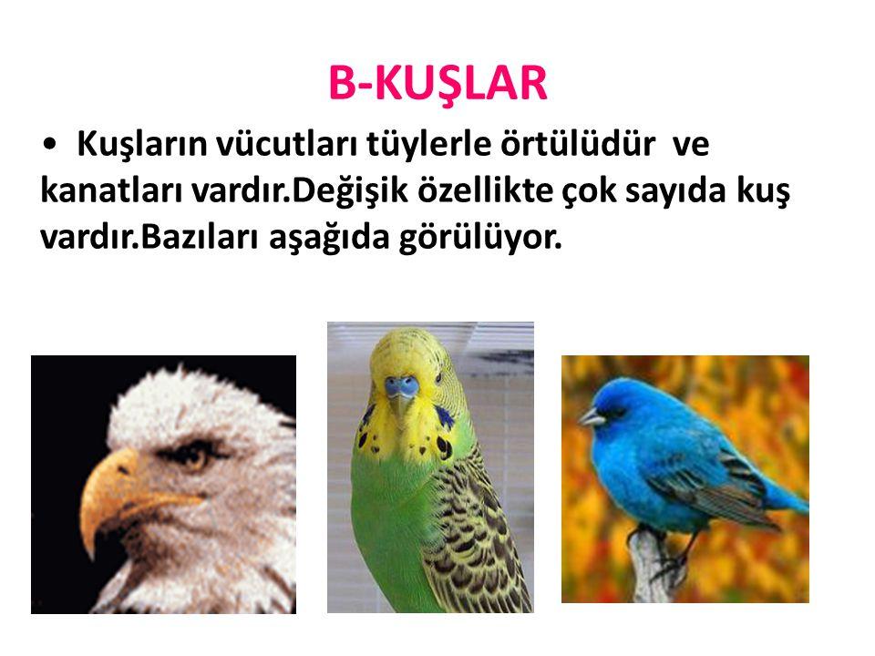 B-KUŞLAR Kuşların vücutları tüylerle örtülüdür ve kanatları vardır.Değişik özellikte çok sayıda kuş vardır.Bazıları aşağıda görülüyor.