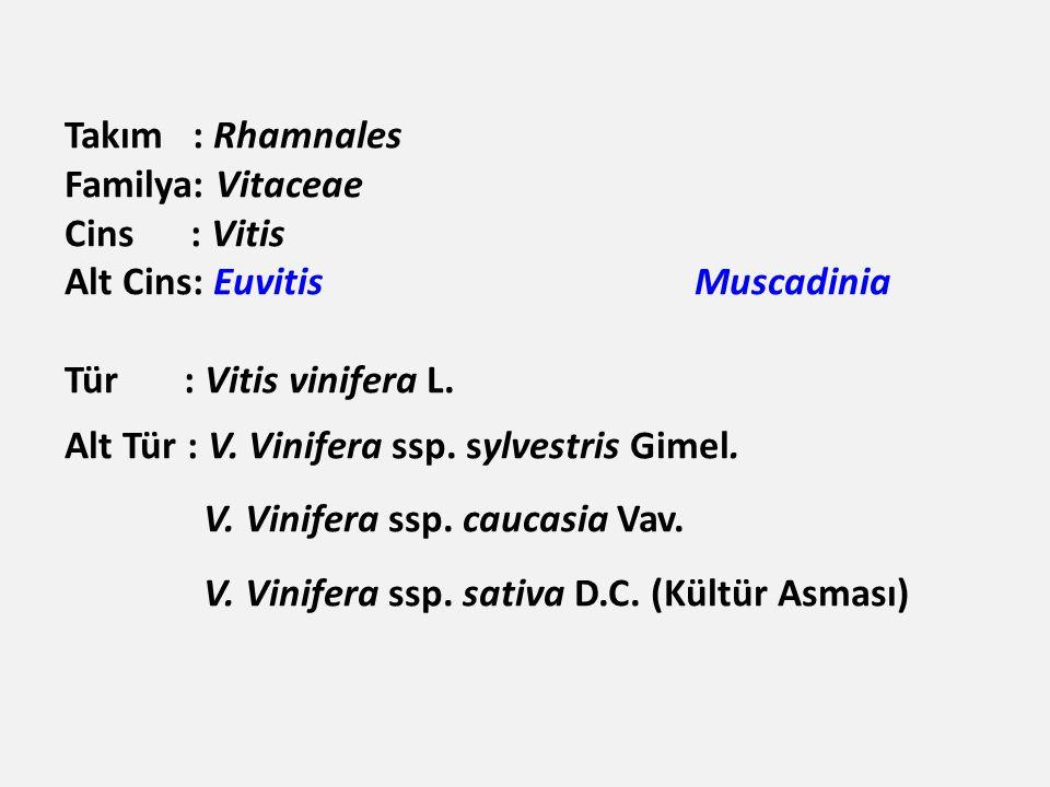 Takım : Rhamnales Familya: Vitaceae. Cins : Vitis. Alt Cins: Euvitis Muscadinia. Tür : Vitis vinifera L.