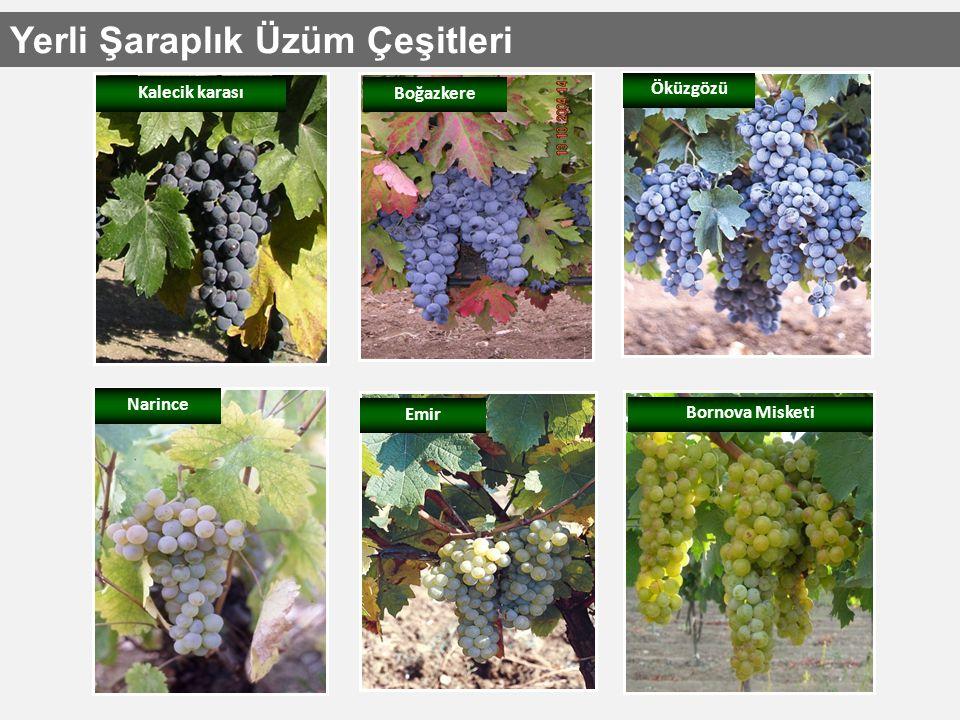 Yerli Şaraplık Üzüm Çeşitleri