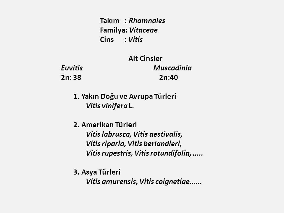 1. Yakın Doğu ve Avrupa Türleri Vitis vinifera L. 2. Amerikan Türleri