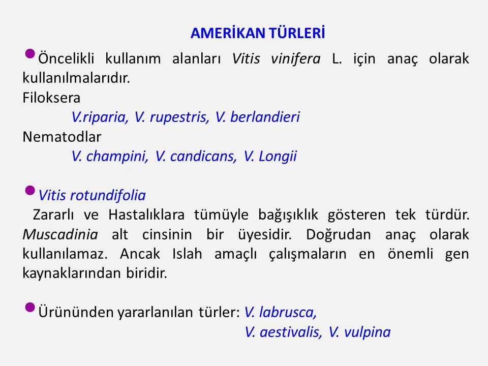 AMERİKAN TÜRLERİ Öncelikli kullanım alanları Vitis vinifera L. için anaç olarak kullanılmalarıdır. Filoksera.