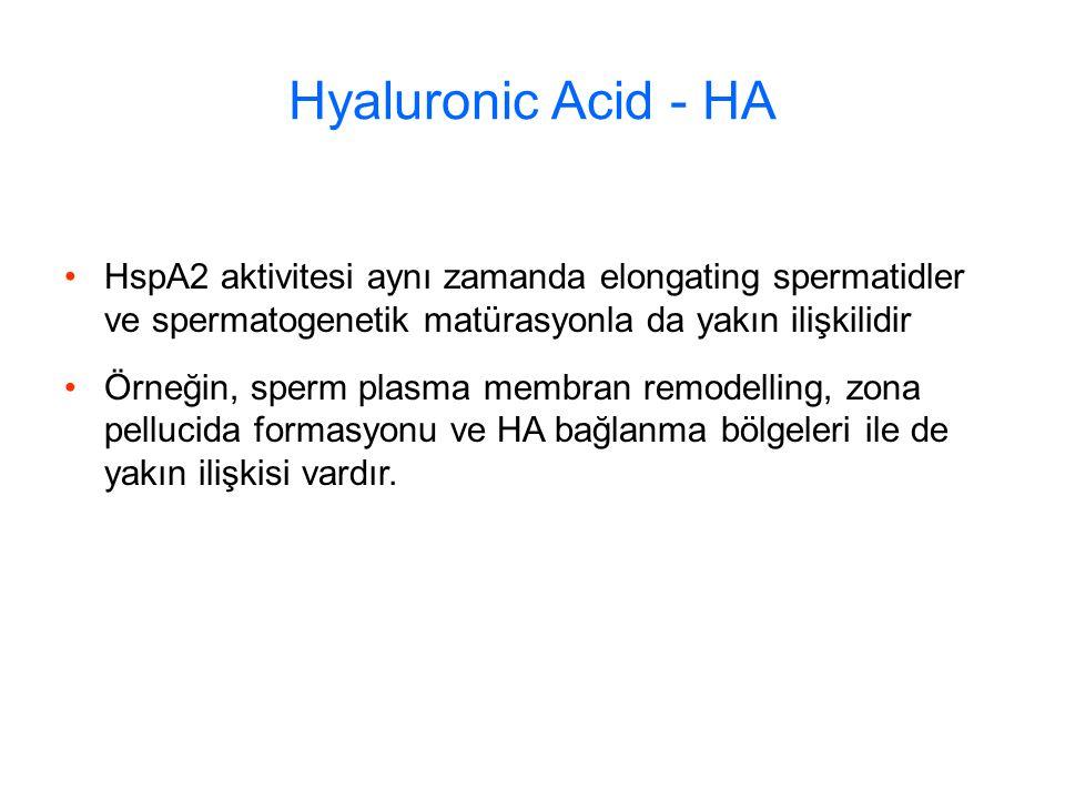 Hyaluronic Acid - HA HspA2 aktivitesi aynı zamanda elongating spermatidler ve spermatogenetik matürasyonla da yakın ilişkilidir.