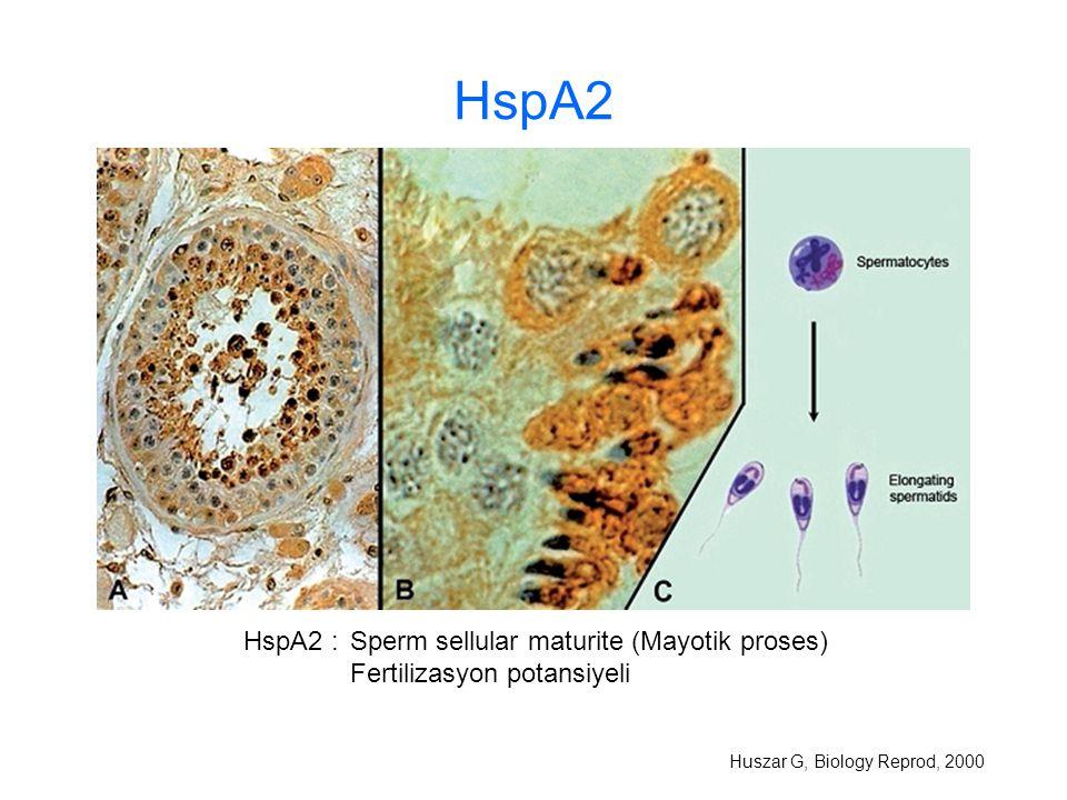 HspA2 HspA2 : Sperm sellular maturite (Mayotik proses)