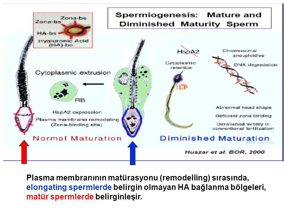 Plasma membranının matürasyonu (remodelling) sırasında,
