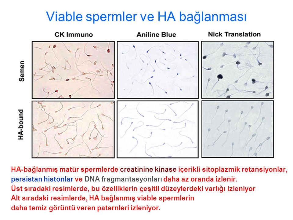 Viable spermler ve HA bağlanması