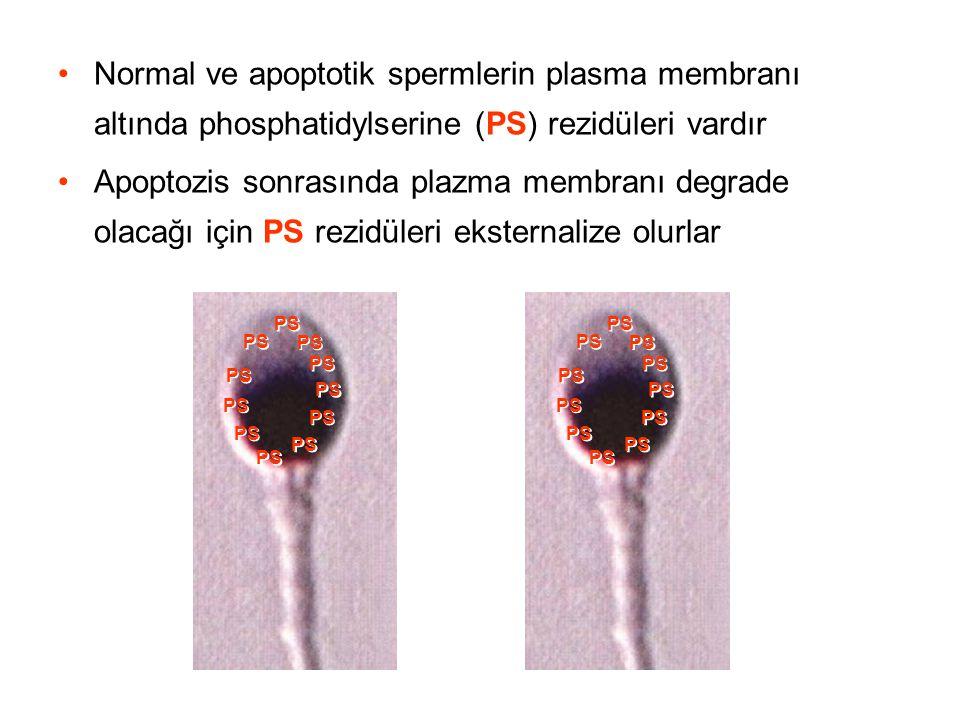 Normal ve apoptotik spermlerin plasma membranı altında phosphatidylserine (PS) rezidüleri vardır