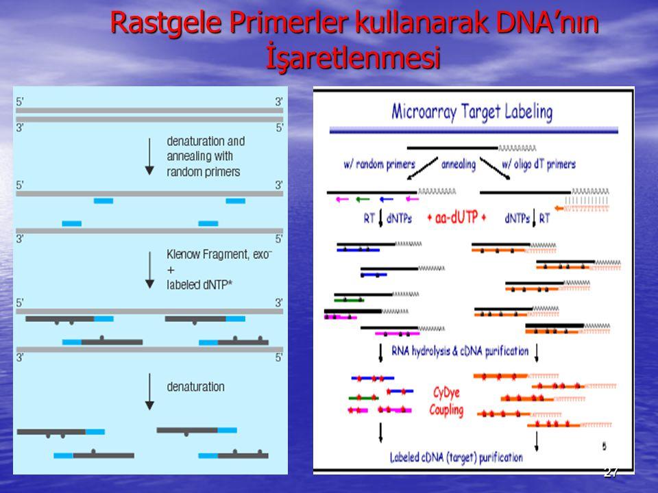 Rastgele Primerler kullanarak DNA'nın İşaretlenmesi
