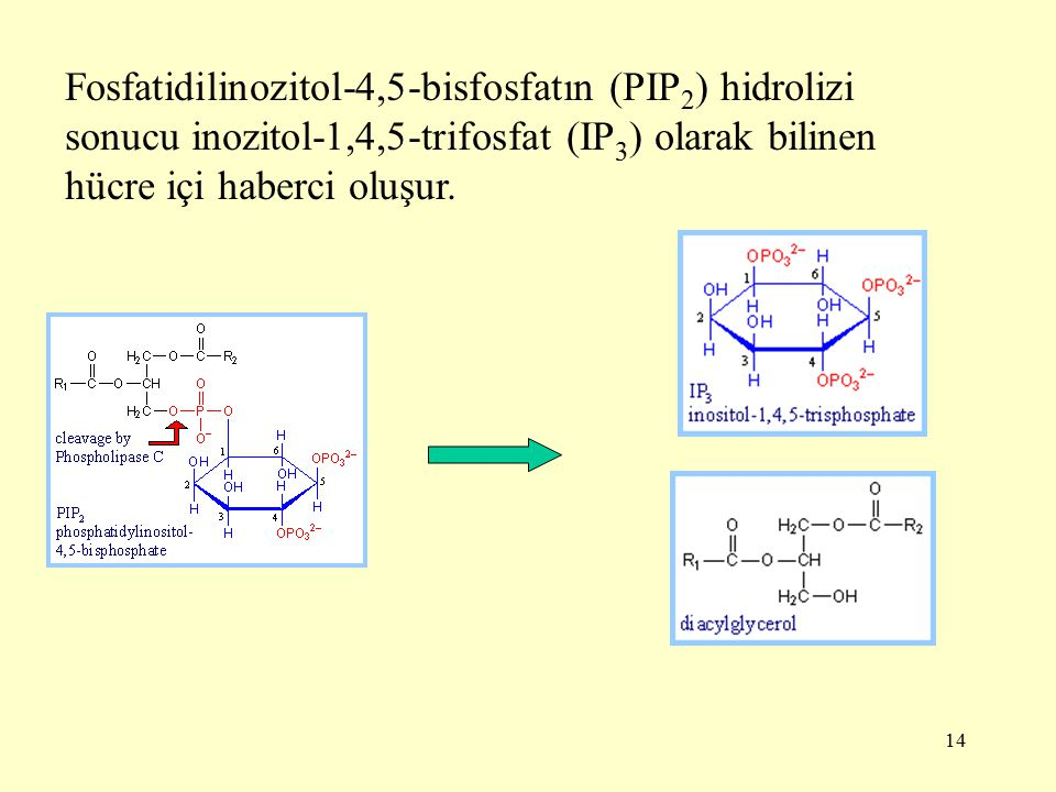 Fosfatidilinozitol-4,5-bisfosfatın (PIP2) hidrolizi sonucu inozitol-1,4,5-trifosfat (IP3) olarak bilinen hücre içi haberci oluşur.