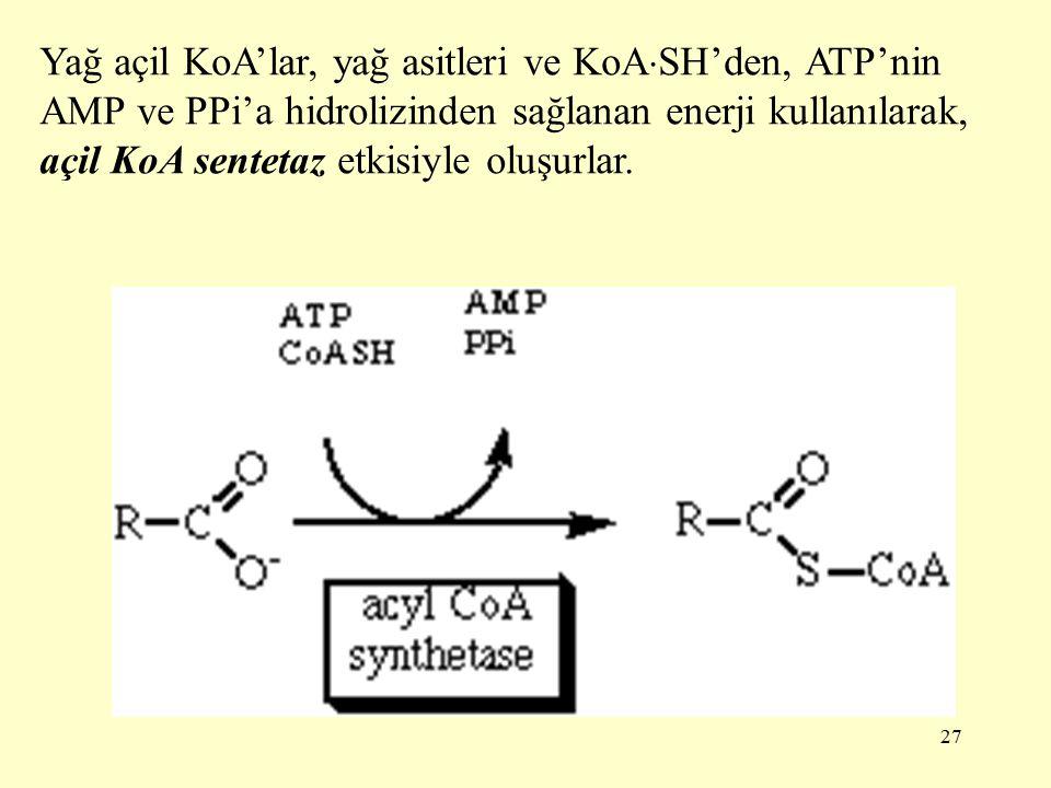Yağ açil KoA'lar, yağ asitleri ve KoASH'den, ATP'nin AMP ve PPi'a hidrolizinden sağlanan enerji kullanılarak, açil KoA sentetaz etkisiyle oluşurlar.
