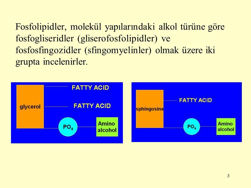 Fosfolipidler, molekül yapılarındaki alkol türüne göre fosfogliseridler (gliserofosfolipidler) ve fosfosfingozidler (sfingomyelinler) olmak üzere iki grupta incelenirler.