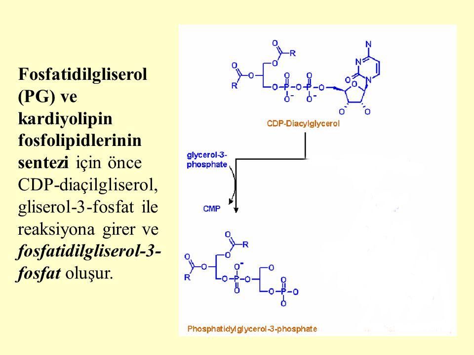 Fosfatidilgliserol (PG) ve kardiyolipin fosfolipidlerinin sentezi için önce CDP-diaçilgliserol, gliserol-3-fosfat ile reaksiyona girer ve fosfatidilgliserol-3-fosfat oluşur.