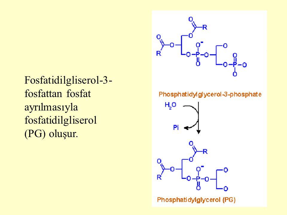 Fosfatidilgliserol-3-fosfattan fosfat ayrılmasıyla fosfatidilgliserol (PG) oluşur.