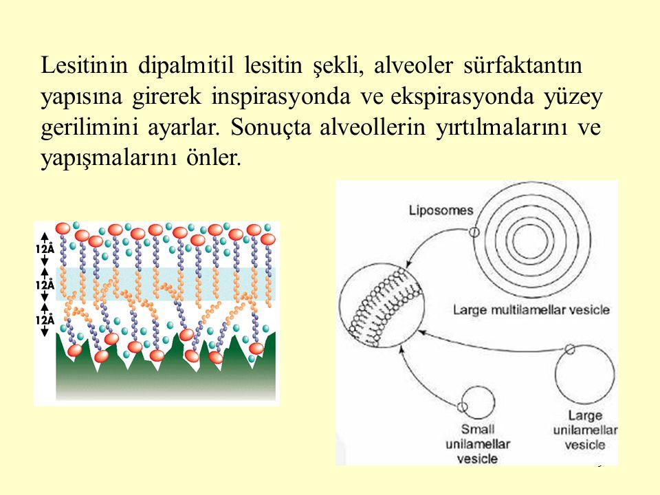 Lesitinin dipalmitil lesitin şekli, alveoler sürfaktantın yapısına girerek inspirasyonda ve ekspirasyonda yüzey gerilimini ayarlar.