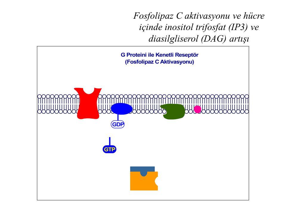 Fosfolipaz C aktivasyonu ve hücre içinde inositol trifosfat (IP3) ve diasilgliserol (DAG) artışı