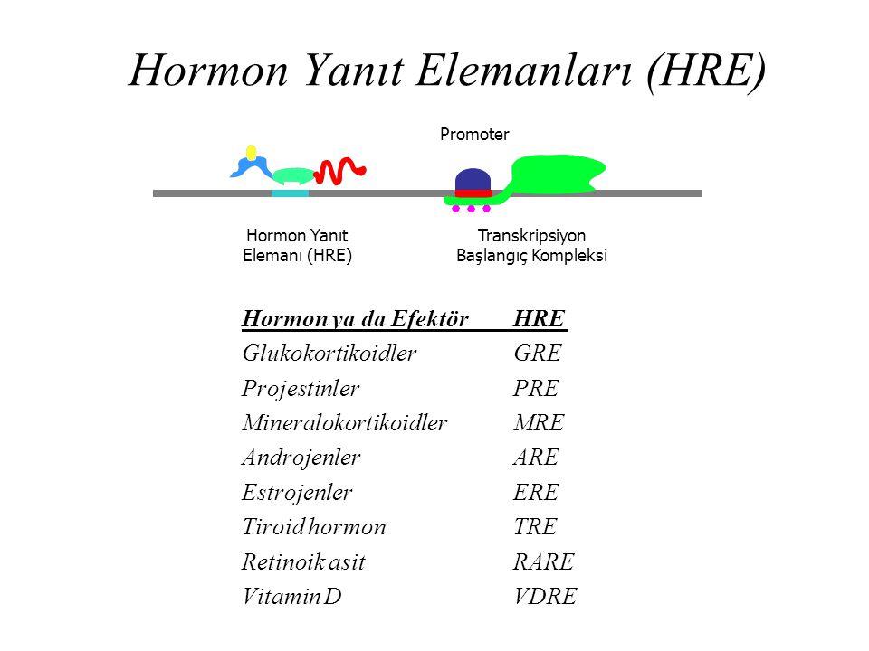 Hormon Yanıt Elemanları (HRE)