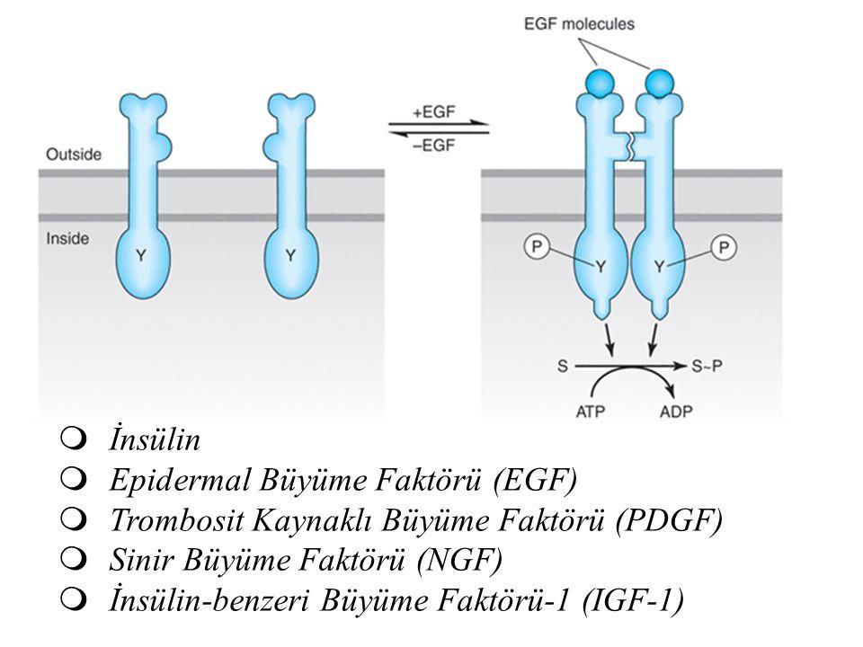 Epidermal Büyüme Faktörü (EGF)
