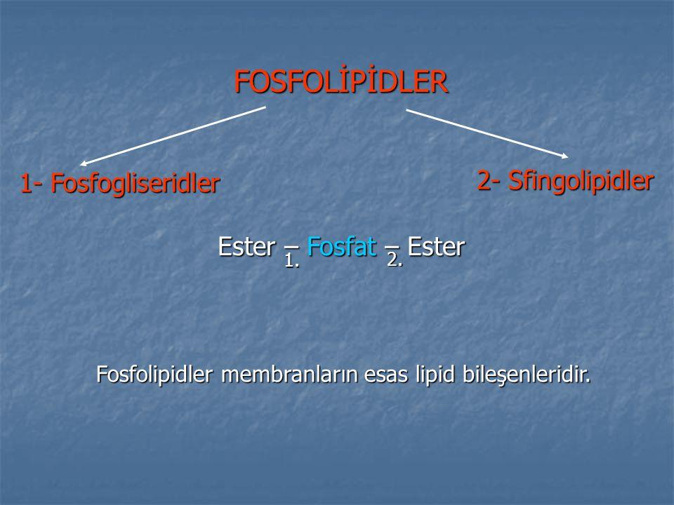 Fosfolipidler membranların esas lipid bileşenleridir.